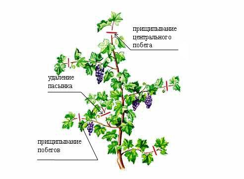 Обрезка винограда — дело не