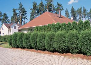 На каком расстоянии соседи имеют право сажать деревья на 8