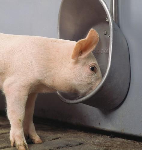 Поилки для свиней своими руками