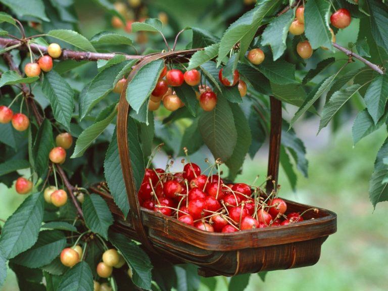 Выращивание черешни в омске 34