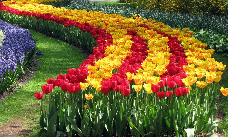 Кто сажал голландские тюльпаны 69