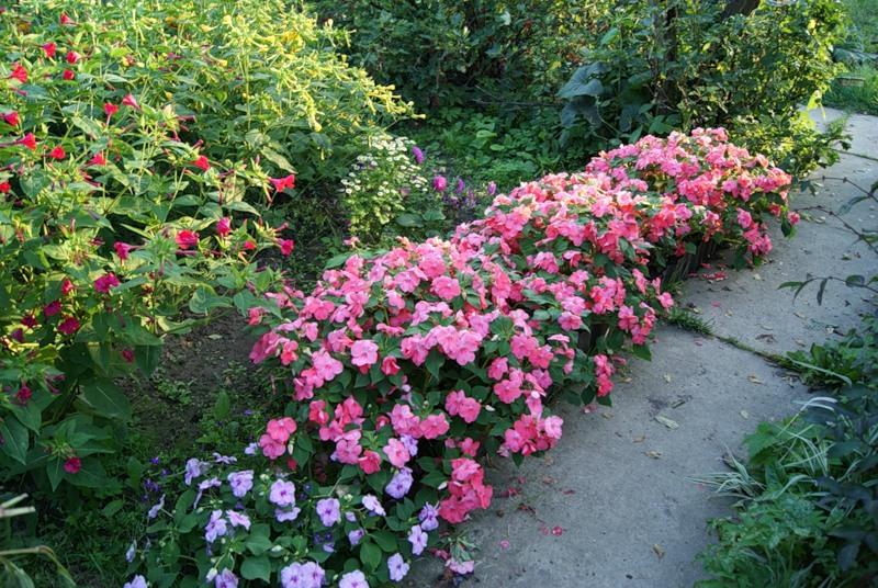 Бальзамин садовая посадка и уход