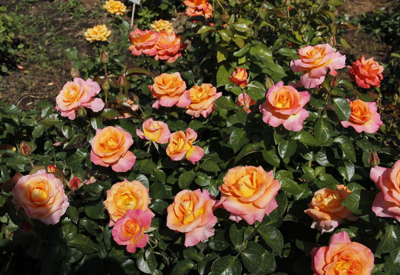 Посадка и уход роза чайная гибридная