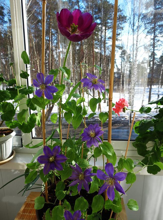 Клематис на балконе, посадка и уход. особенности выращивания.