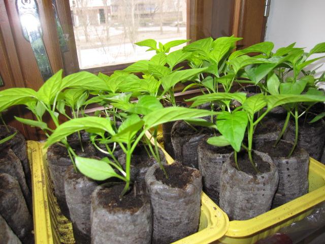 Как вырасти рассаду перца в домашних условиях
