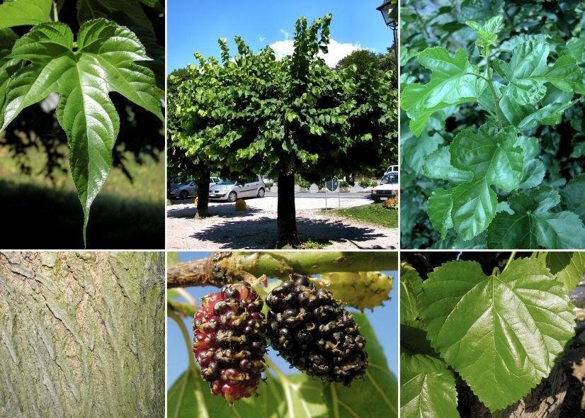 Шелковица выращивание и уход на алтае 14