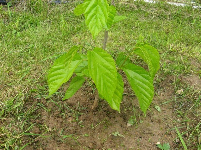 Шелковица выращивание и уход на алтае 29
