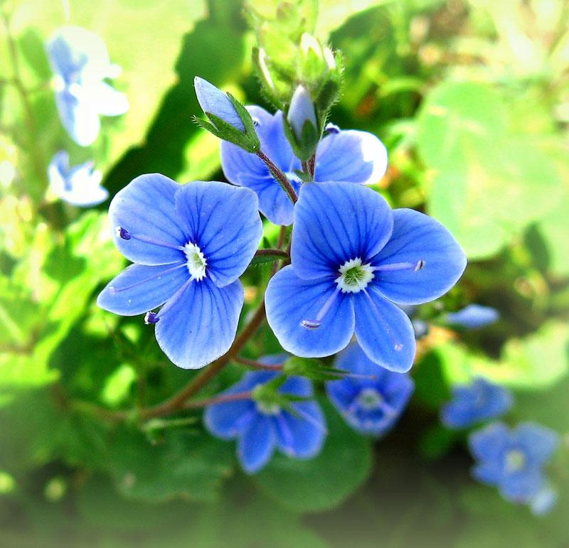 вероника фото цветок