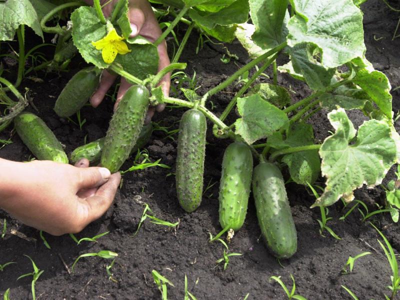 Выращивание огурцов в грунте в подмосковье 7