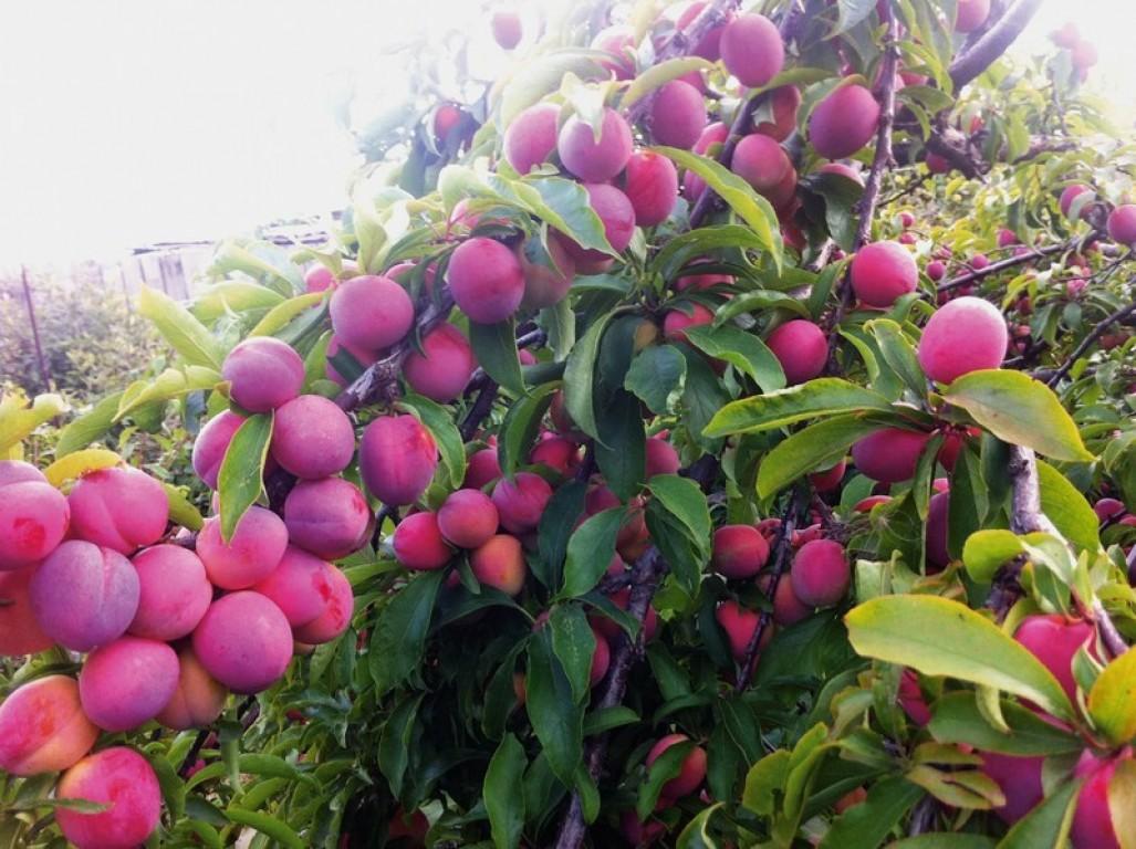 Интенсивное выращивание сливы 12