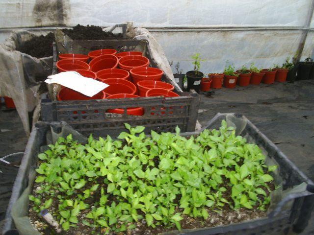 Выращивание георгинов из семян 572