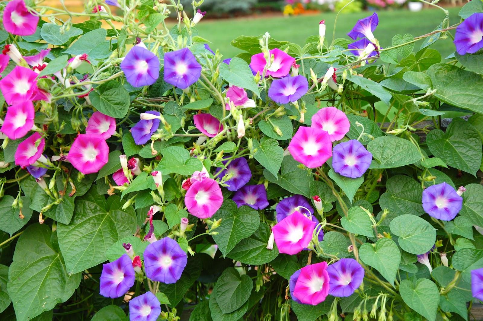Ипомея фото цветов
