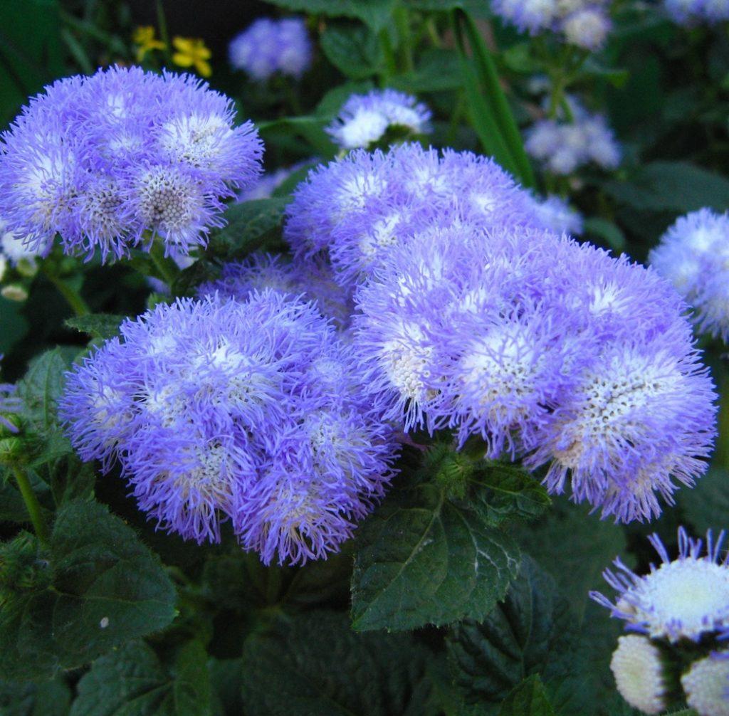 42 растения с синими цветками Дизайн участка (Огород. ru) 848