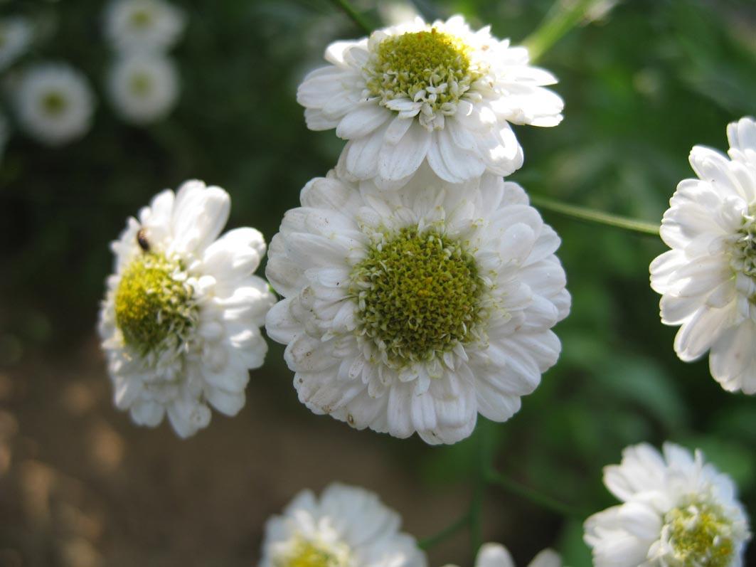 Цветок ромашка - королева лугов и полей. Садовые растения
