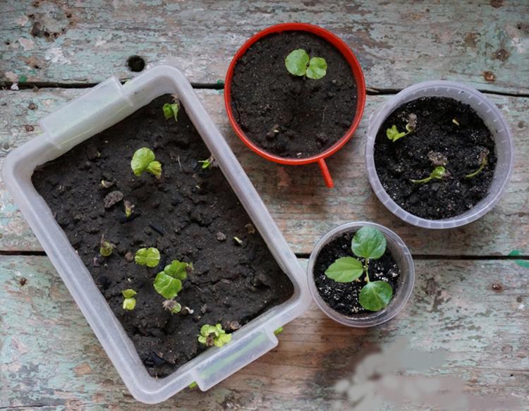 Гибискусы выращивание из семян 51