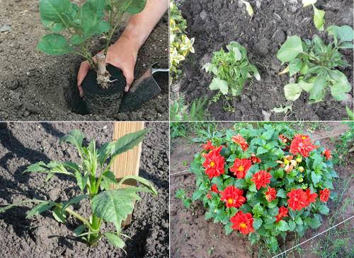 Выращивание георгинов из семян 573