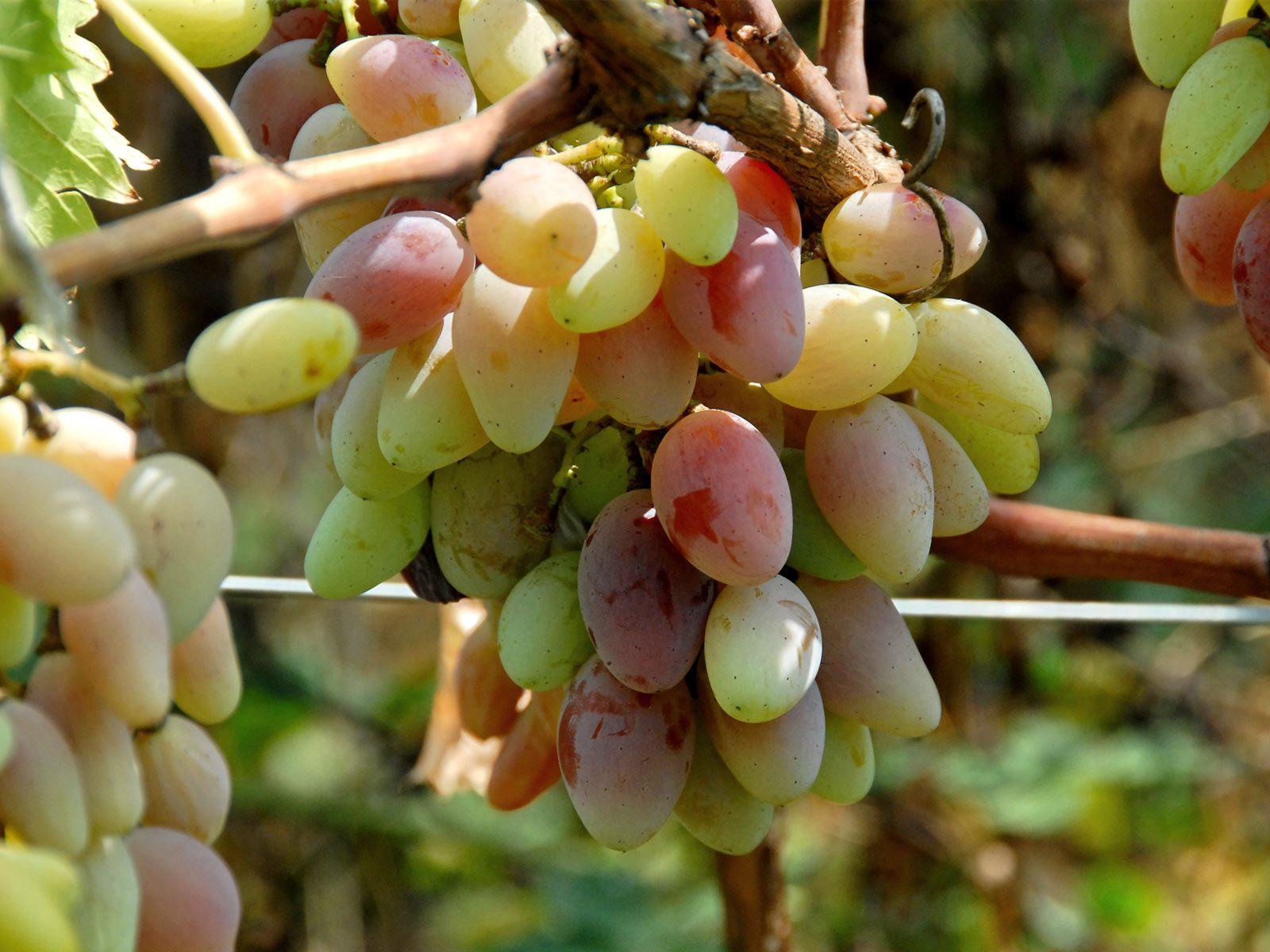 Пошаговый процесс посадки винограда весной и осенью мастер-классы