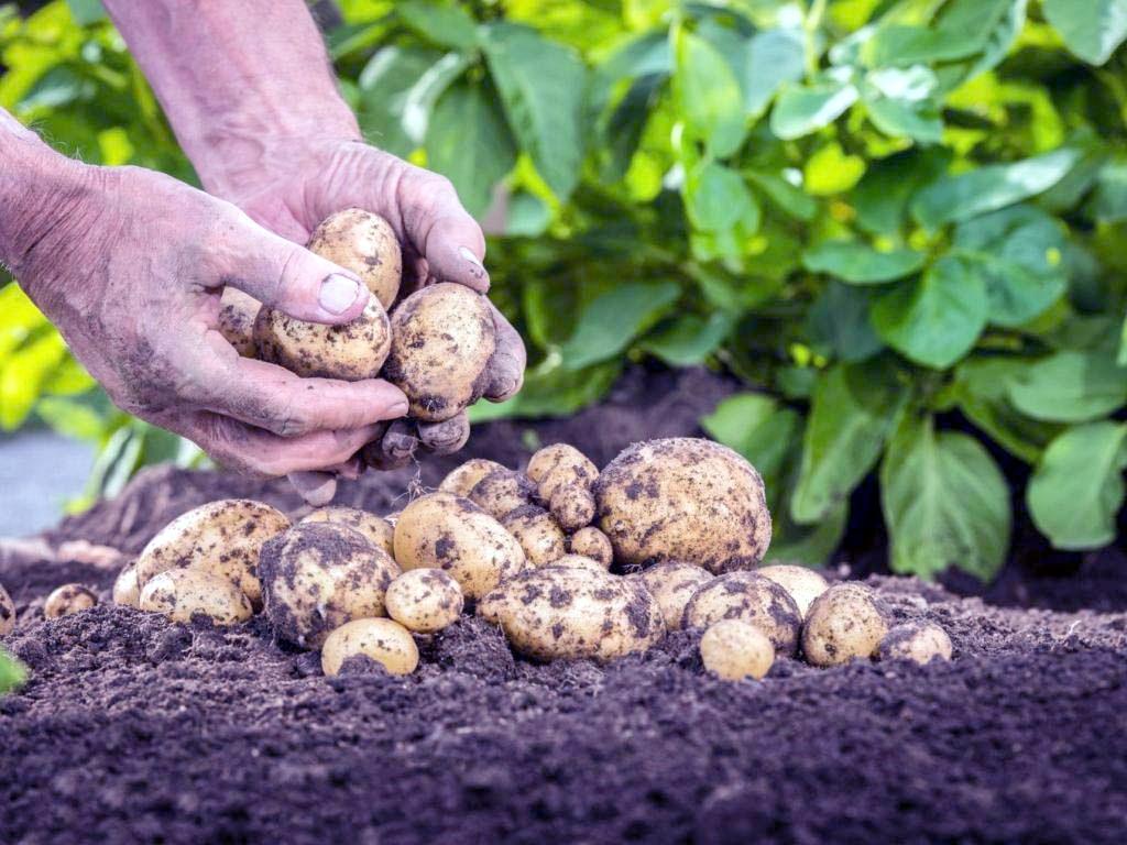 Как сажать и как за ним ухаживать картофель 72