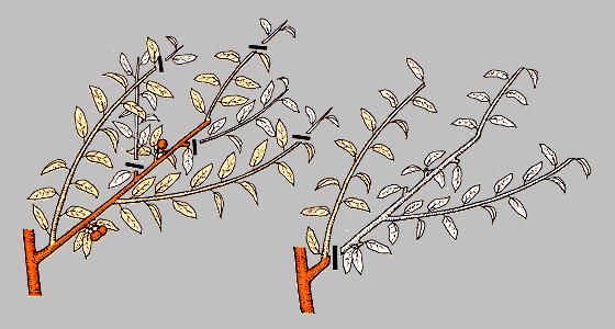 обрезки персика – так