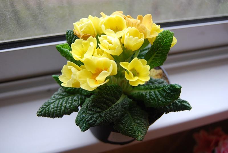Примулы цветы 5