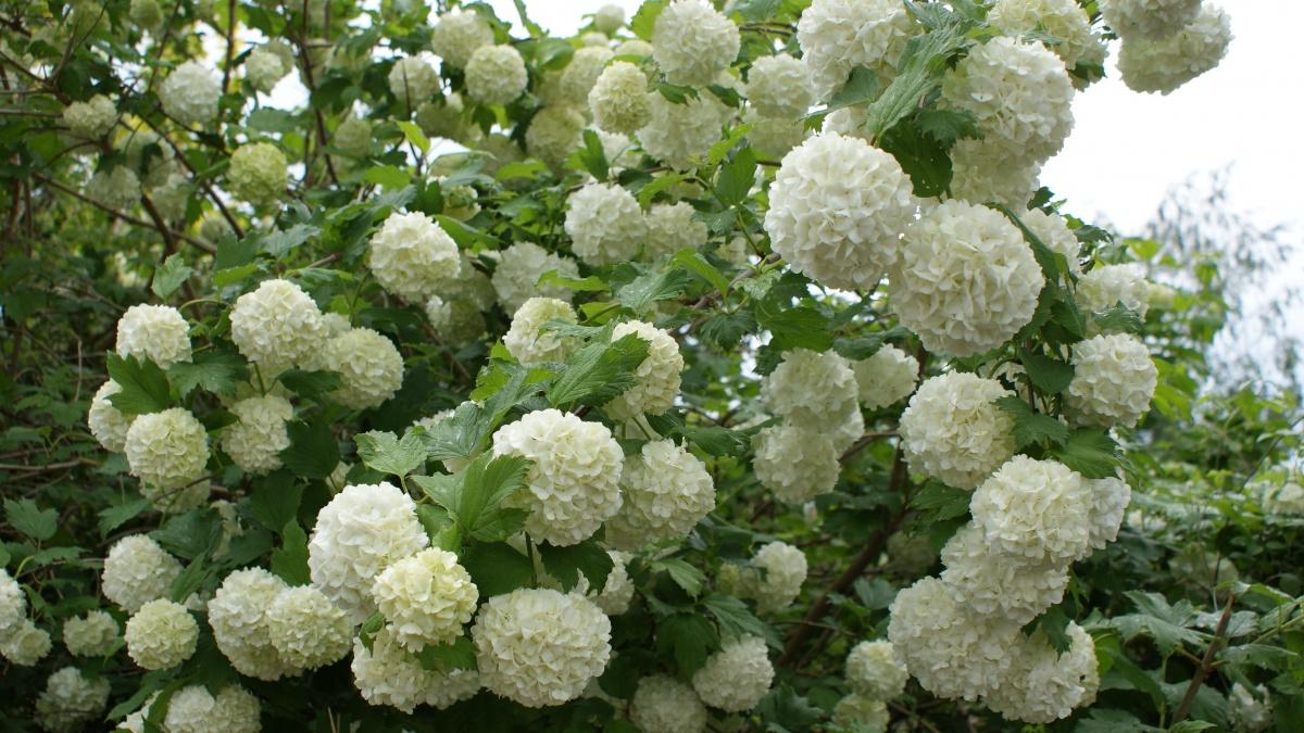 Кусты с белыми цветами