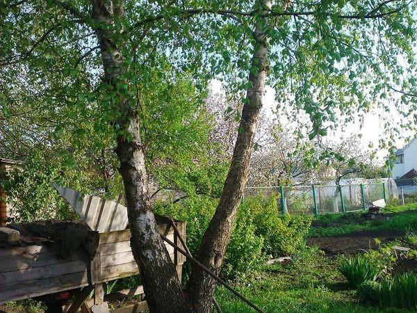 Посадка берез на участке Создаем красивый сад 54