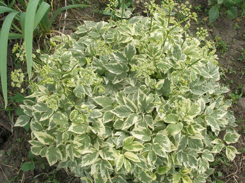 Декоративные цветы с пестрыми листьями