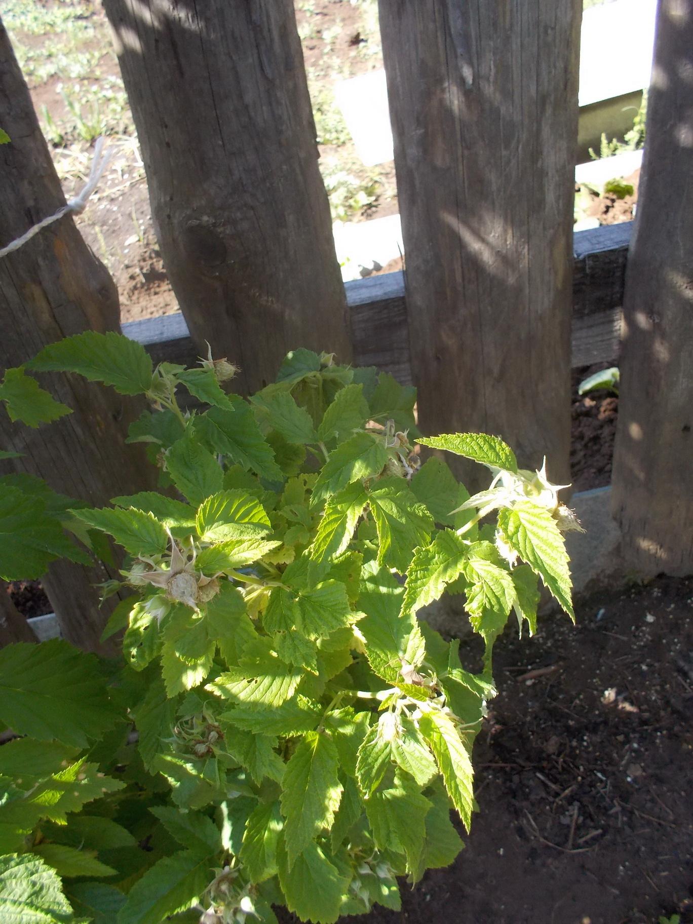 Малиновое дерево Сказка: отзывы, посадка и уход