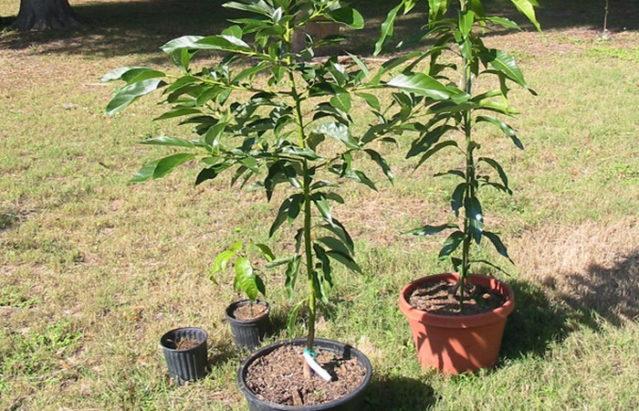 Как правильно посадить персик из косточки в домашних условиях