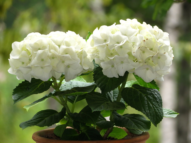 Цветок гортензия комнатная