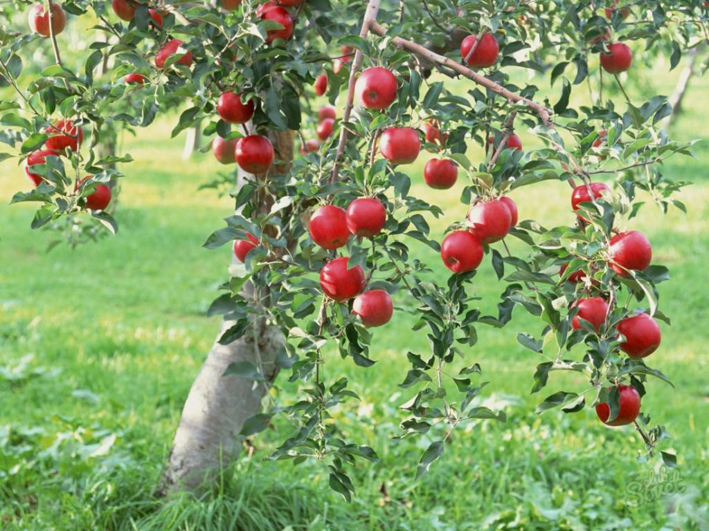 Достоинства и недостатки разведения карликовых деревьев в саду