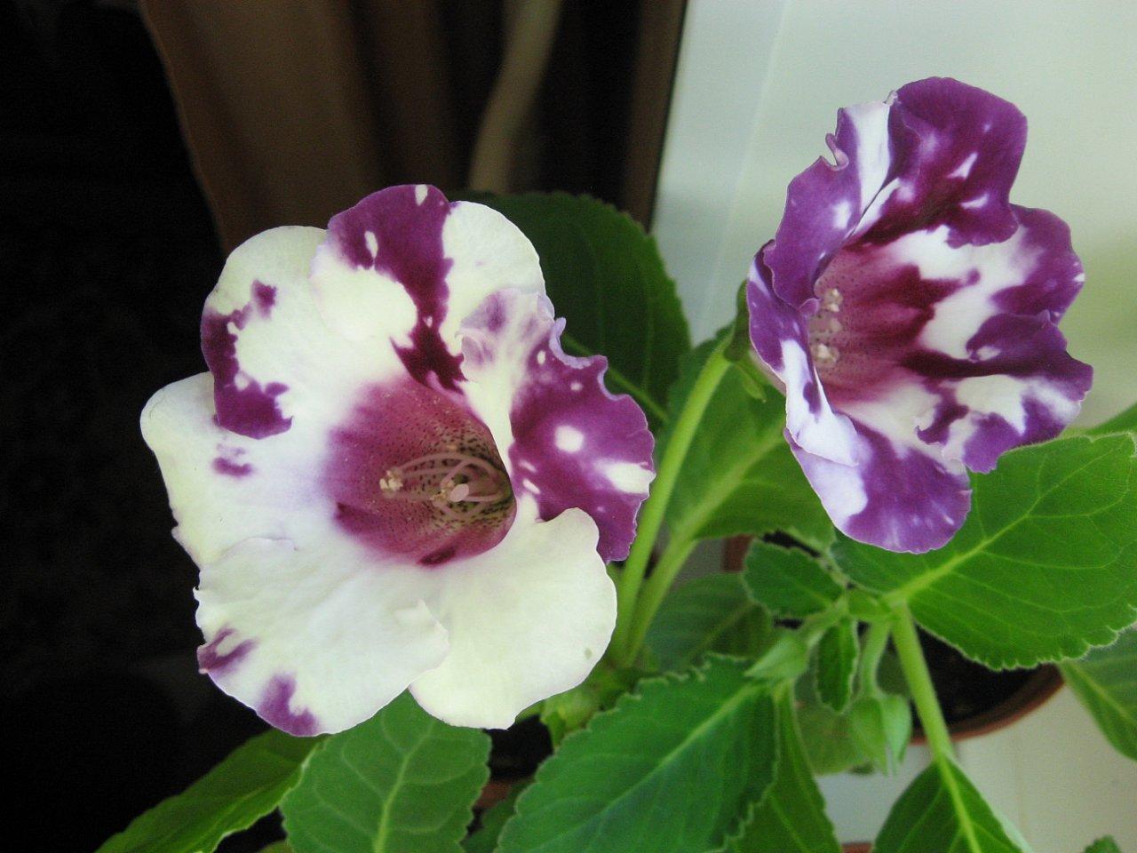Глоксиния: уход в домашних условиях Комнатный цветок 18