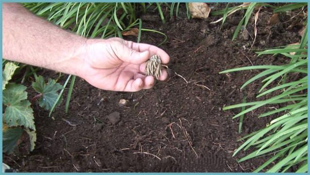 Ранункулюсы посадка и уход в открытом грунте когда сажать