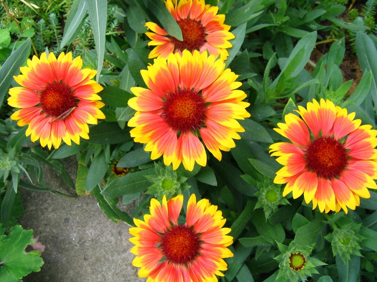 Про многолетние цветы с