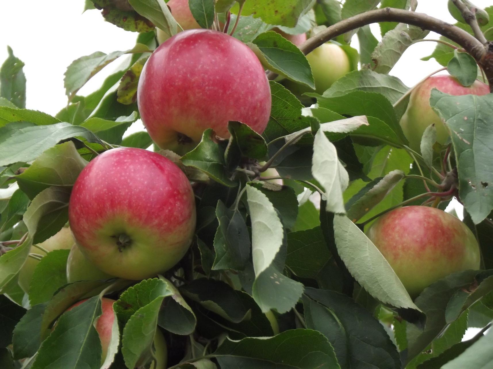 Яблоки Мельба картинки 4