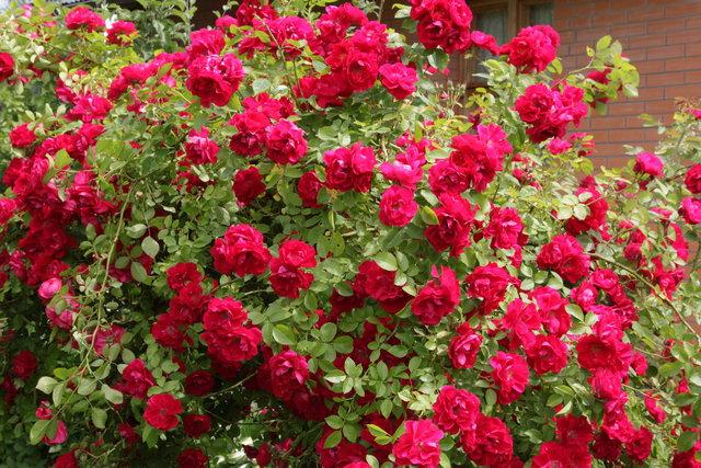 Как выращивать вьющиеся розы?