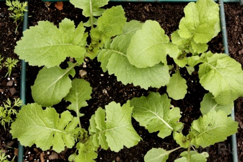 Условия выращивания репы 88