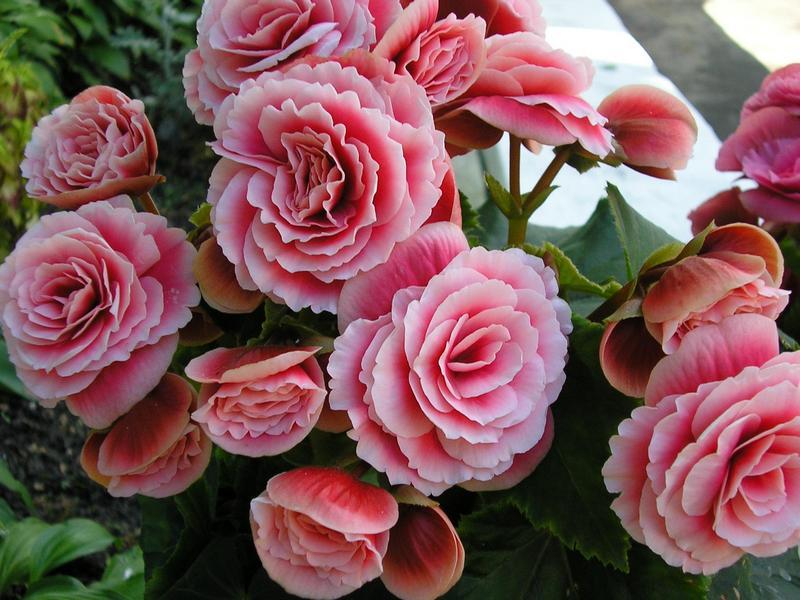 Бегония махровая розовая уход выращивание 52