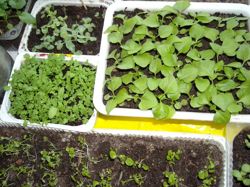 Как сеять флоксы на рассаду в домашних условиях 40