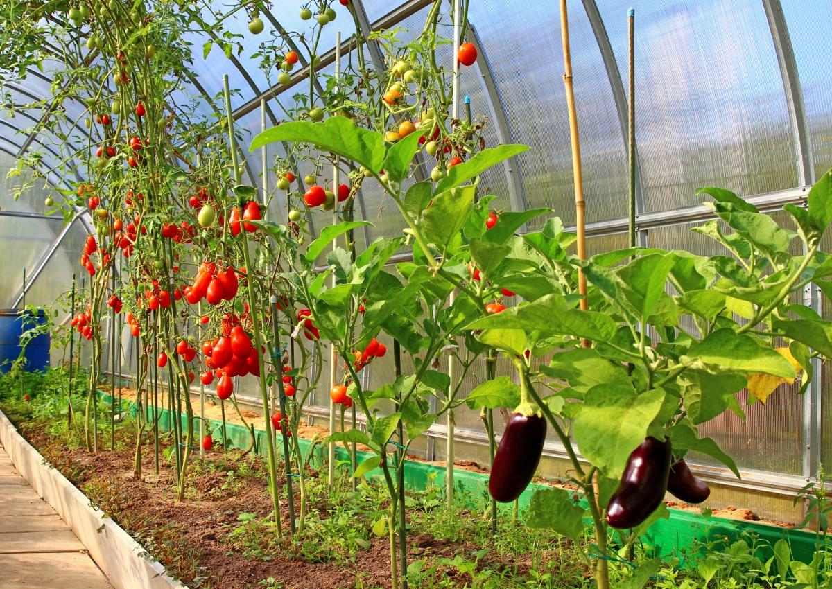Как сделать чтобы завязалась цветная капуста