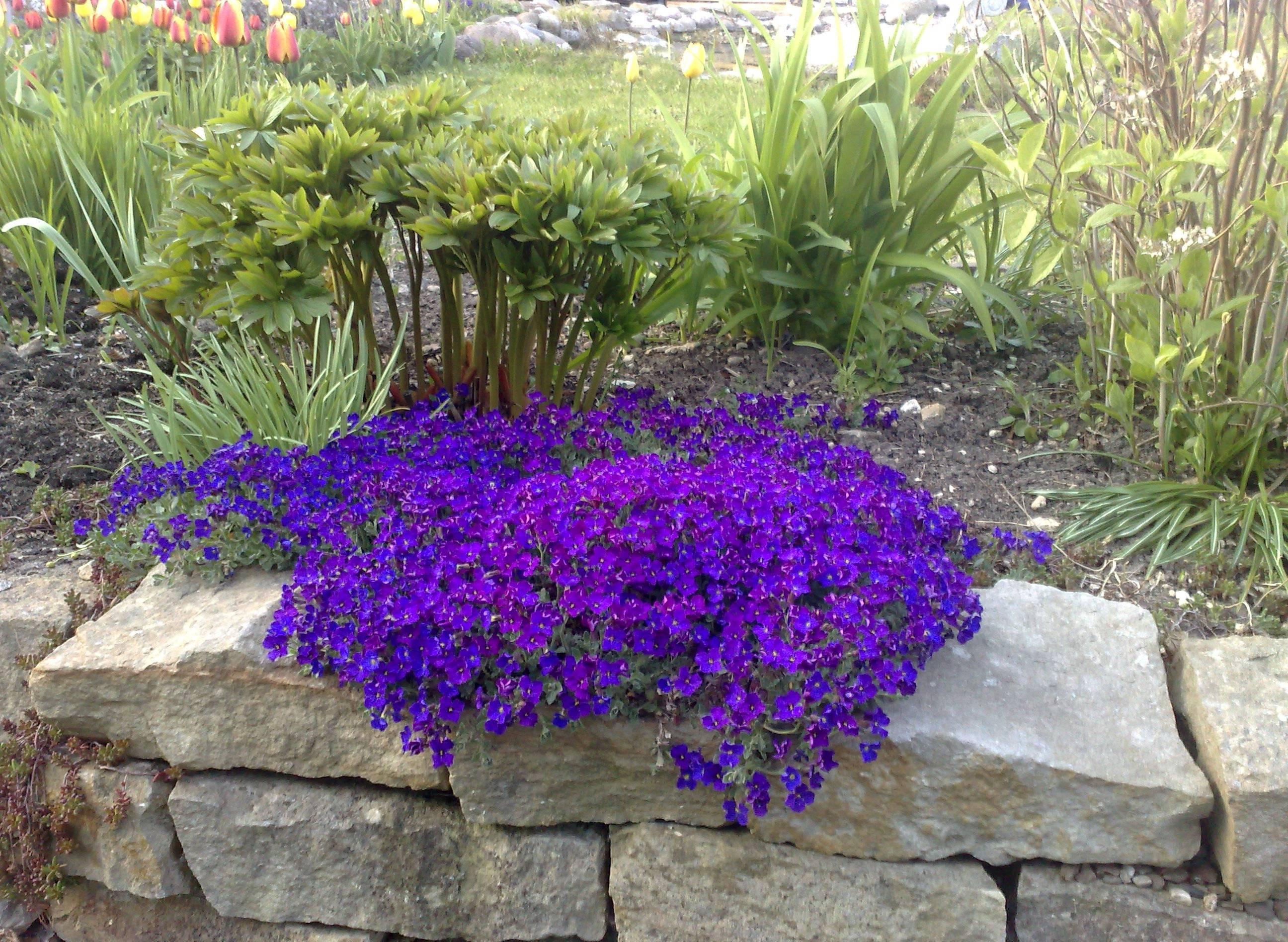 Купить цветы обриета доставка цветов ростов-на-дону оплата