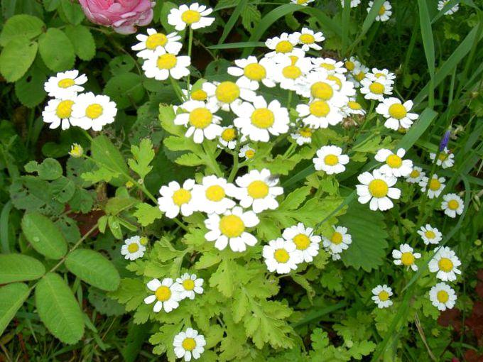 Фото цветка матрикария 118
