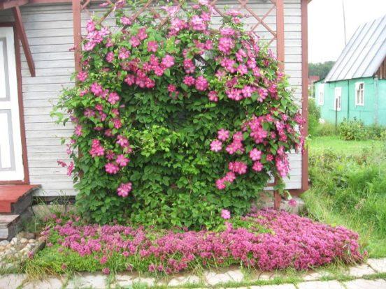 Выращивание клематис в саду 922