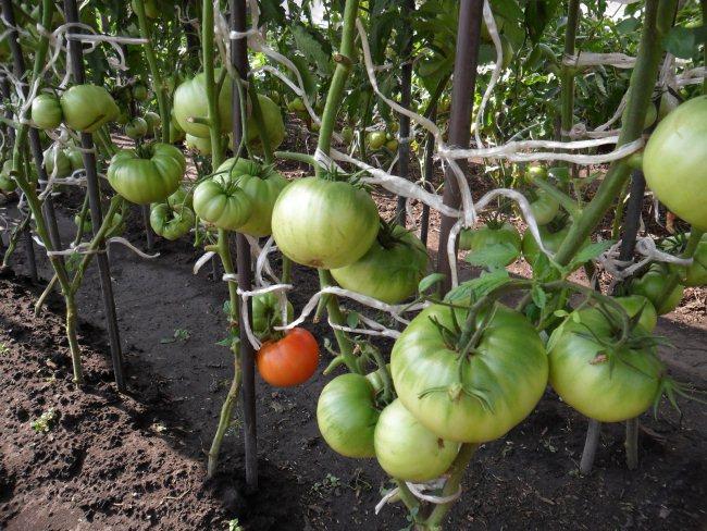 Как сделать помидор на земля