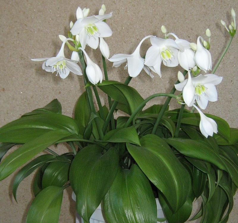 лилия фото цветок домашний