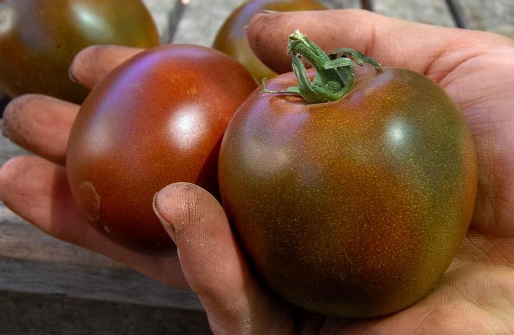 Выращивание помидор черный принц 86