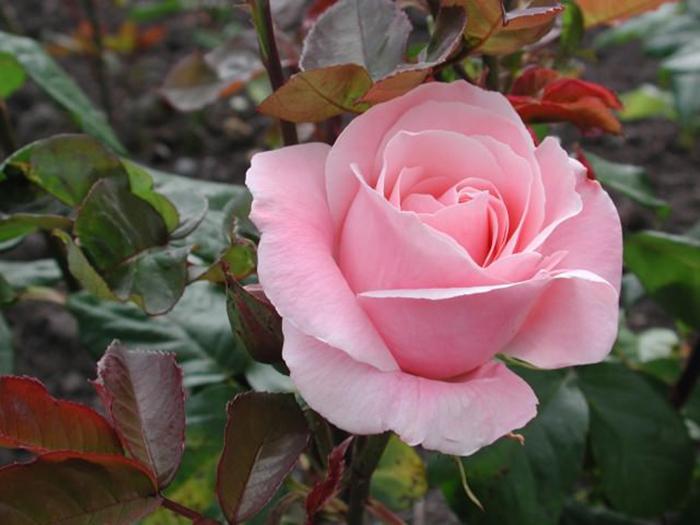 Цветок семейства драцены 41