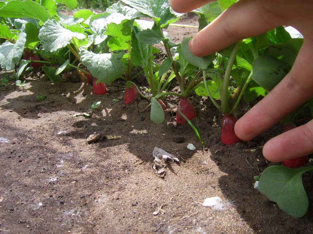 Как сажать редиску в открытом грунте