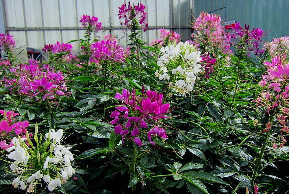 Фото цветка клеома