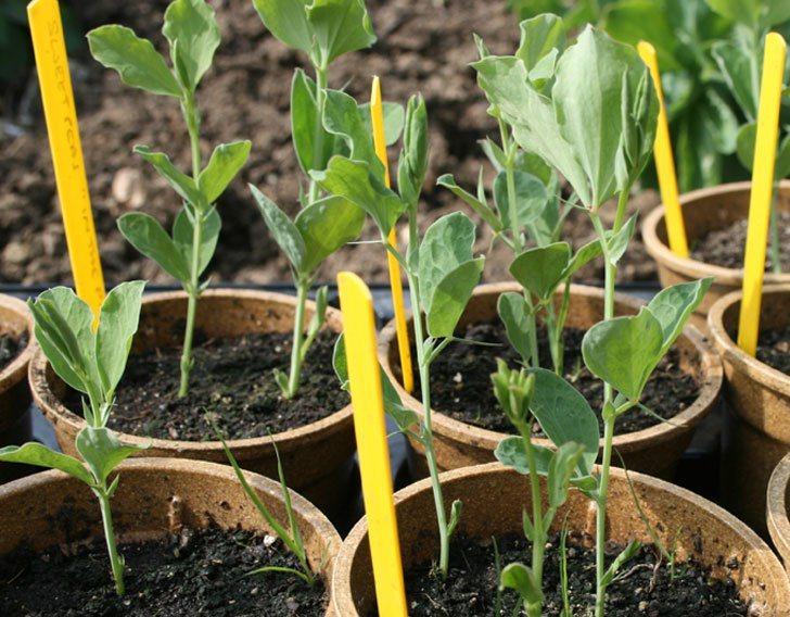 Выращивание душистого горошка в открытом грунте 85